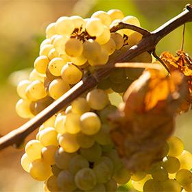 Podkarpackie winnice