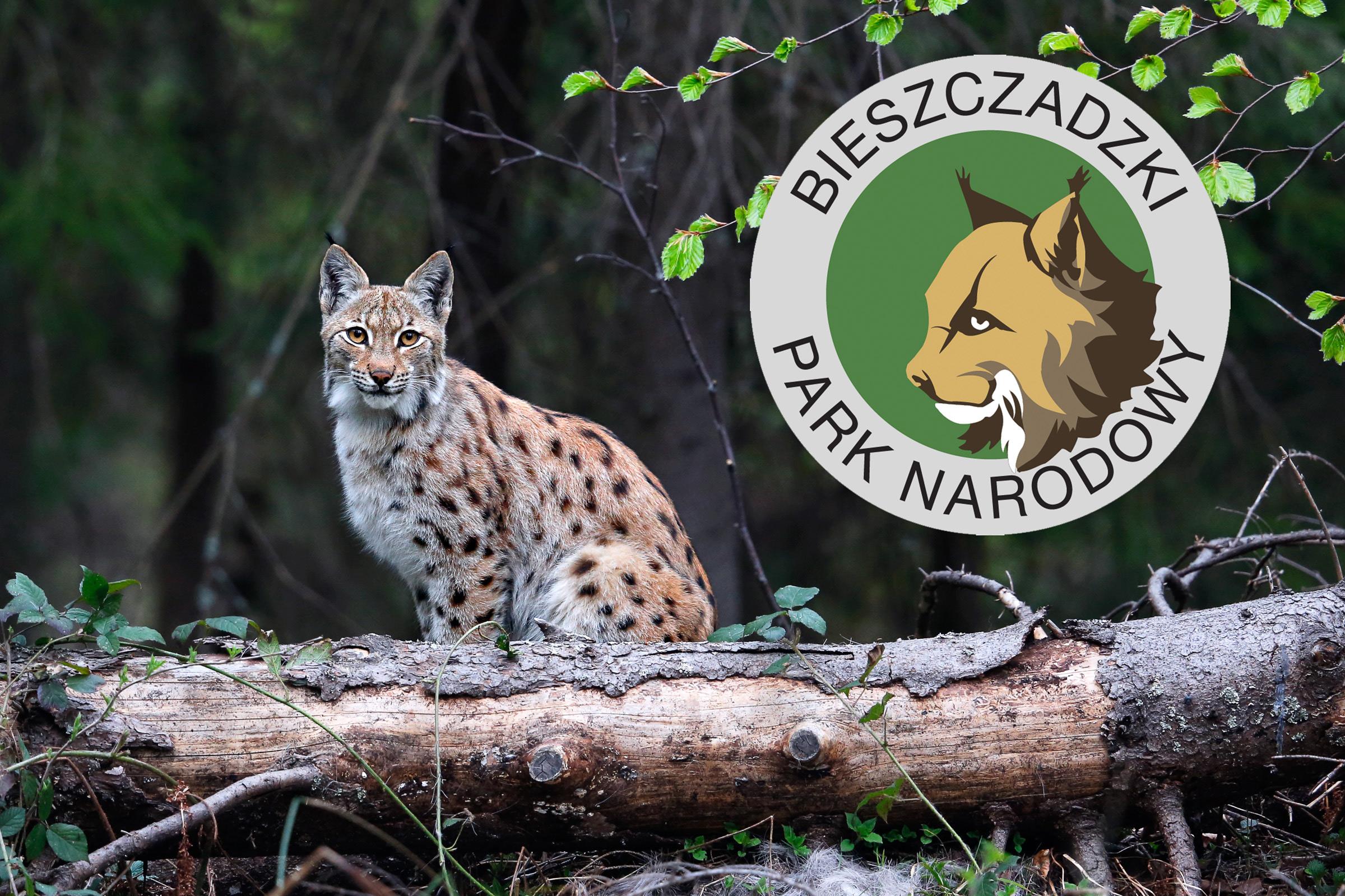 Bieszczadzki ryś stał się inspiracją dla logo Bieszczadzkiego Parku Narodowego. fot. Grzegorz Leśniewski