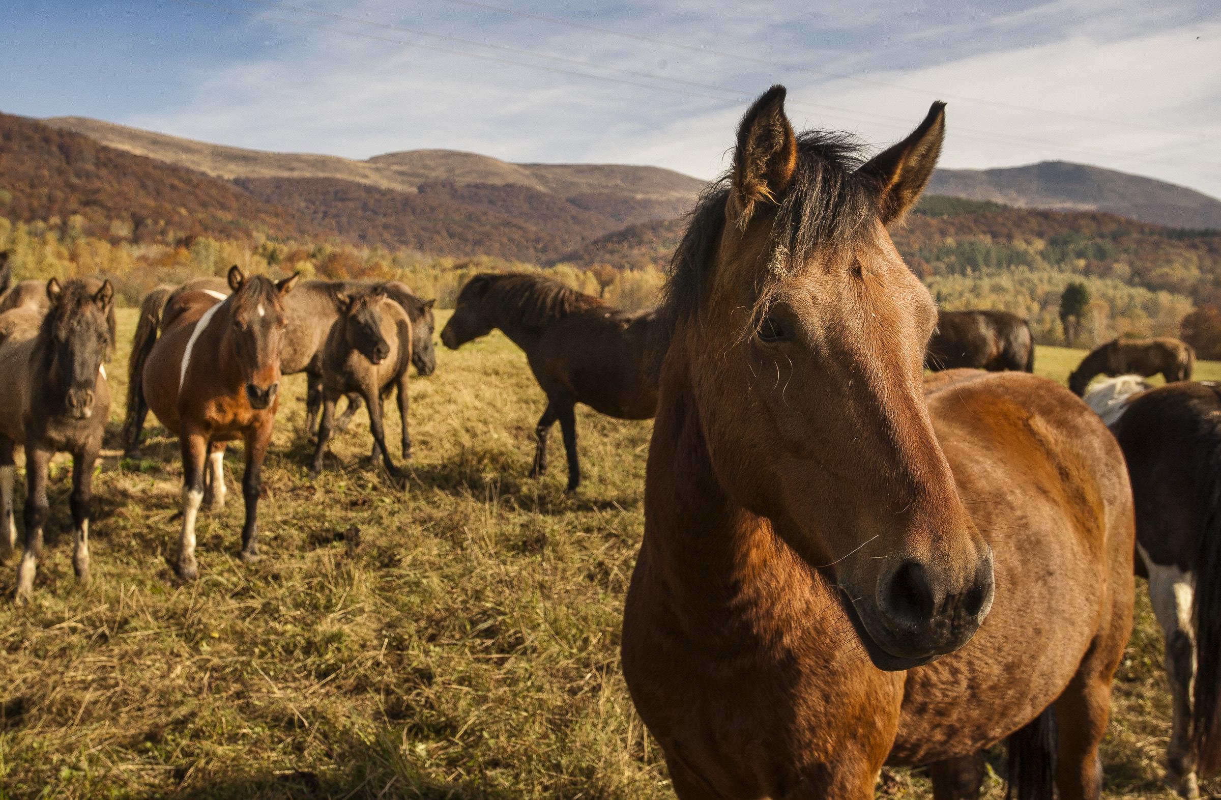 Konie huculskie w Bieszczadzkim Parku Narodowym. fot. Waldek Sosnowski